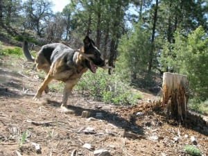 Tripawd Wyatt runs in the mountains